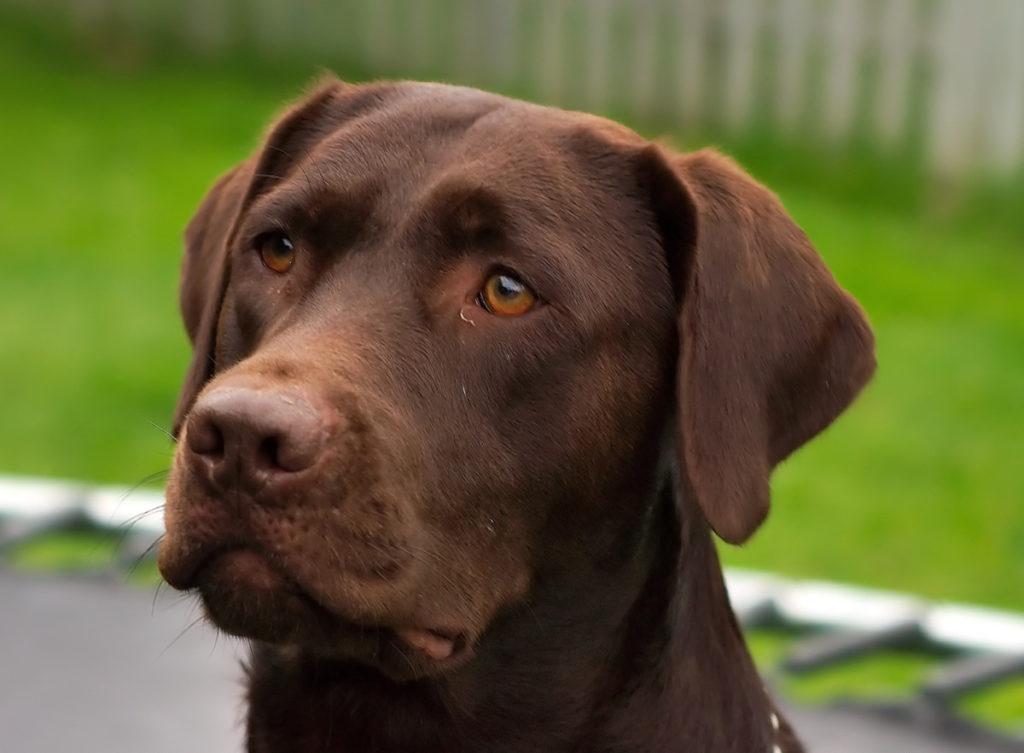 Labrador_Retriever_chocolate_Hershey_sit_(cropped)