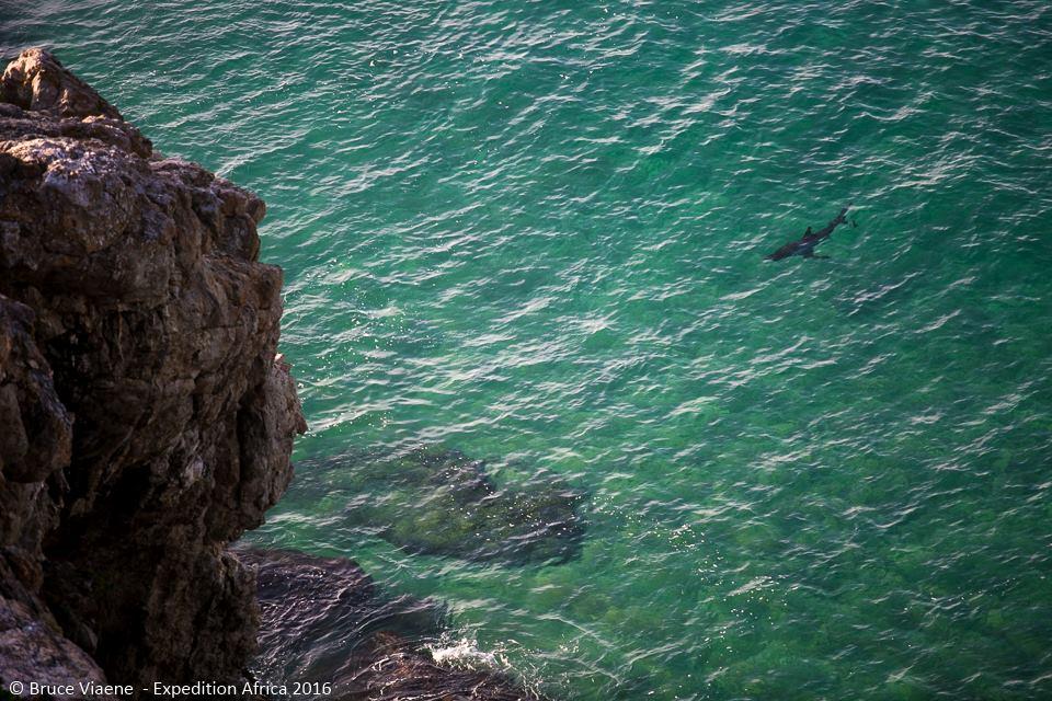 Typisk vithaj. Och typiskt tur att man inte var i vattnet precis då. Foto: Bruce Viaene
